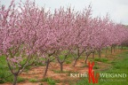 Hill Country Peaches, Blooms: Fredericksburg & Stonewall Texas