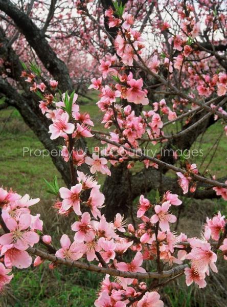 peachblooms