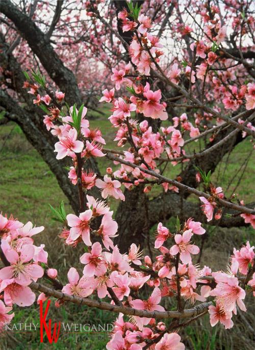 PEACH_Blooms