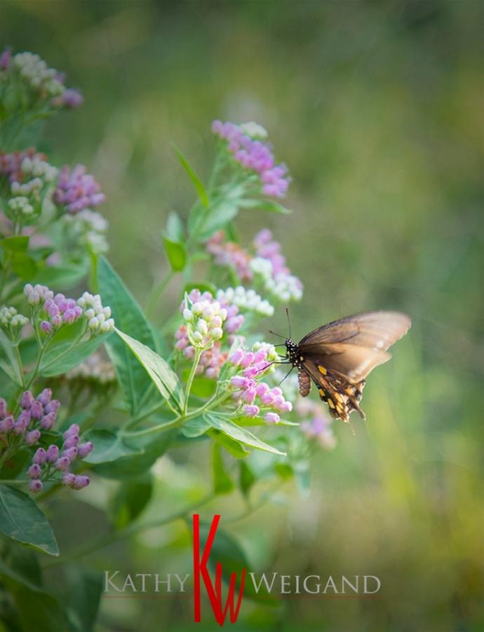 Butterfly_0236