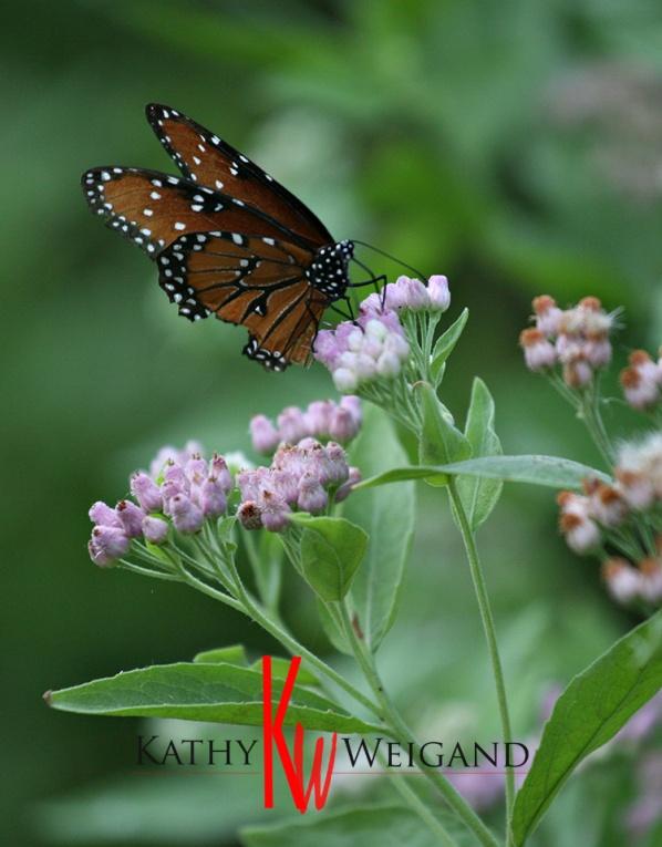monarch_8194