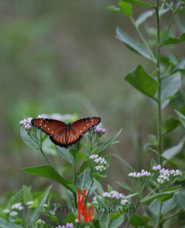 monarch_8206.jpg